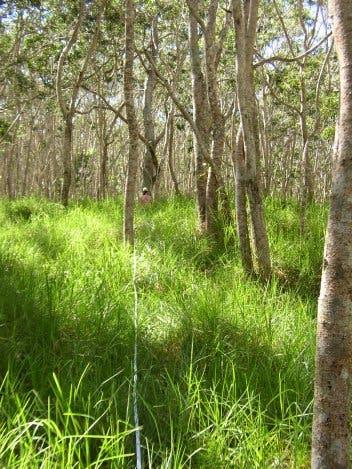 20 Jahre alte Koa-Bäume