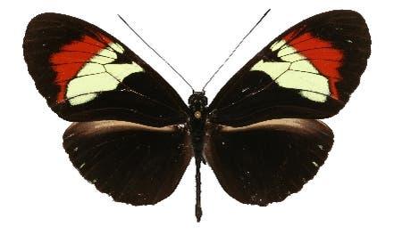 Schmetterlingshybrid