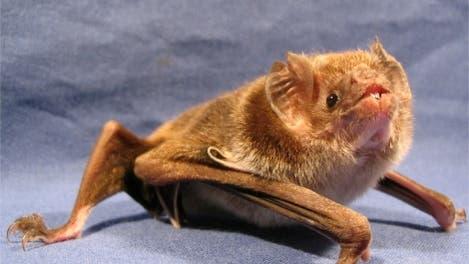 <i>Desmodus rotundus</i>