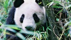 Panda im Bambus