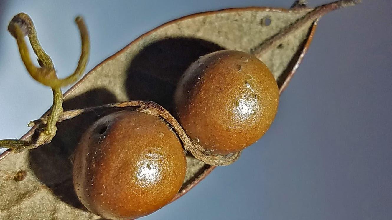 Zwei Galläpfel mit einer Ranke