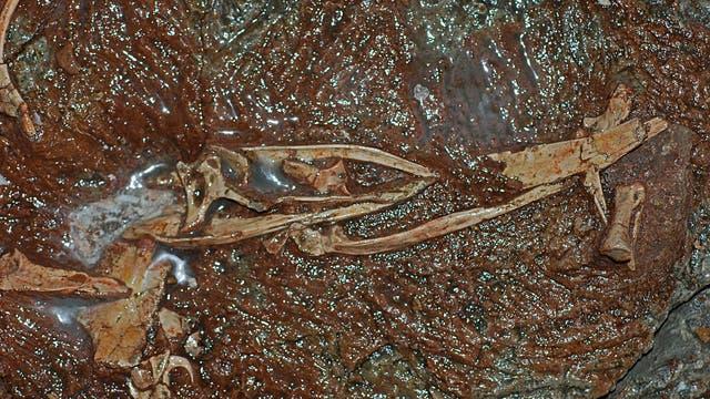 Fossile Überreste einer neu entdeckten Dino-Art mit dem Namen »Xiyunykus pengi«