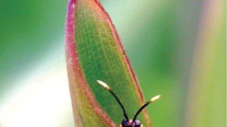 <i>Cephaloleia variabilis</i>