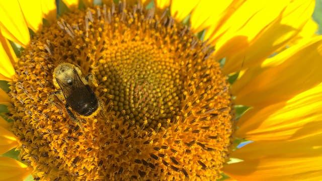Eine Biene labt sich an einer Sonnenblume