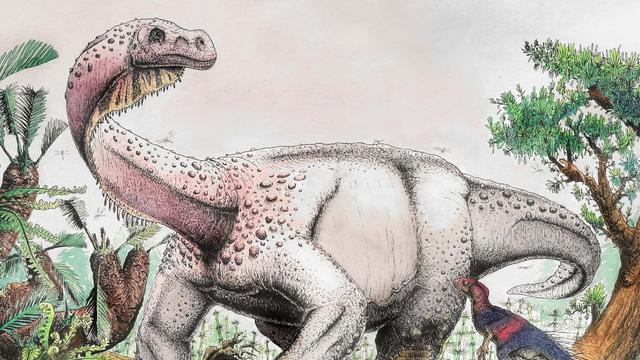 Zwölftonner auf dicken, krummen Beinen: So könnte der Brontosaurus-Verwandte »Ledumahadi mafube« ausgesehen haben