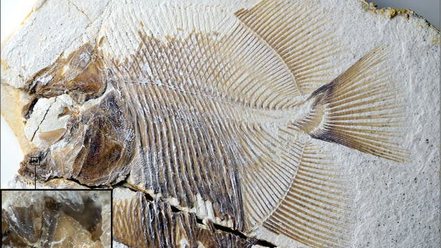 Piranhamesodon pinnatomus Fossil