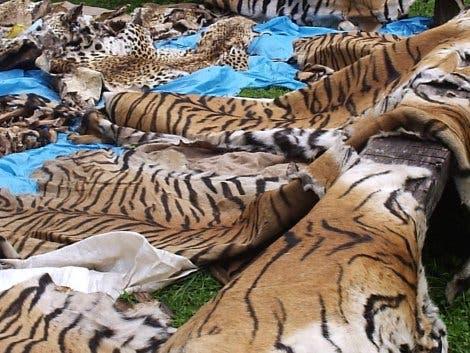 Beschlagnahmte Tigerfelle