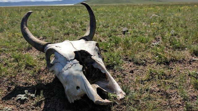 Mongolisches Milchvieh in der Bronzezeit