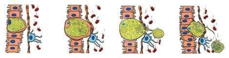 Merosomenknospung aus Leberzellen