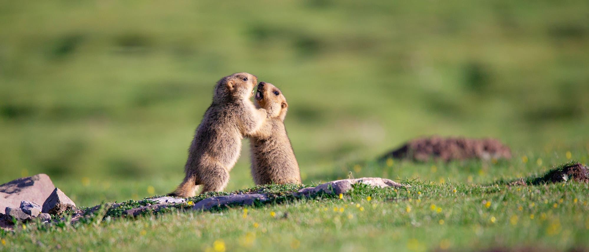 Zwei Murmeltiere im Himalaya