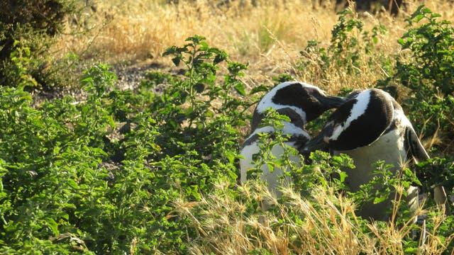 Ein Magellan-Pinguinpärchen