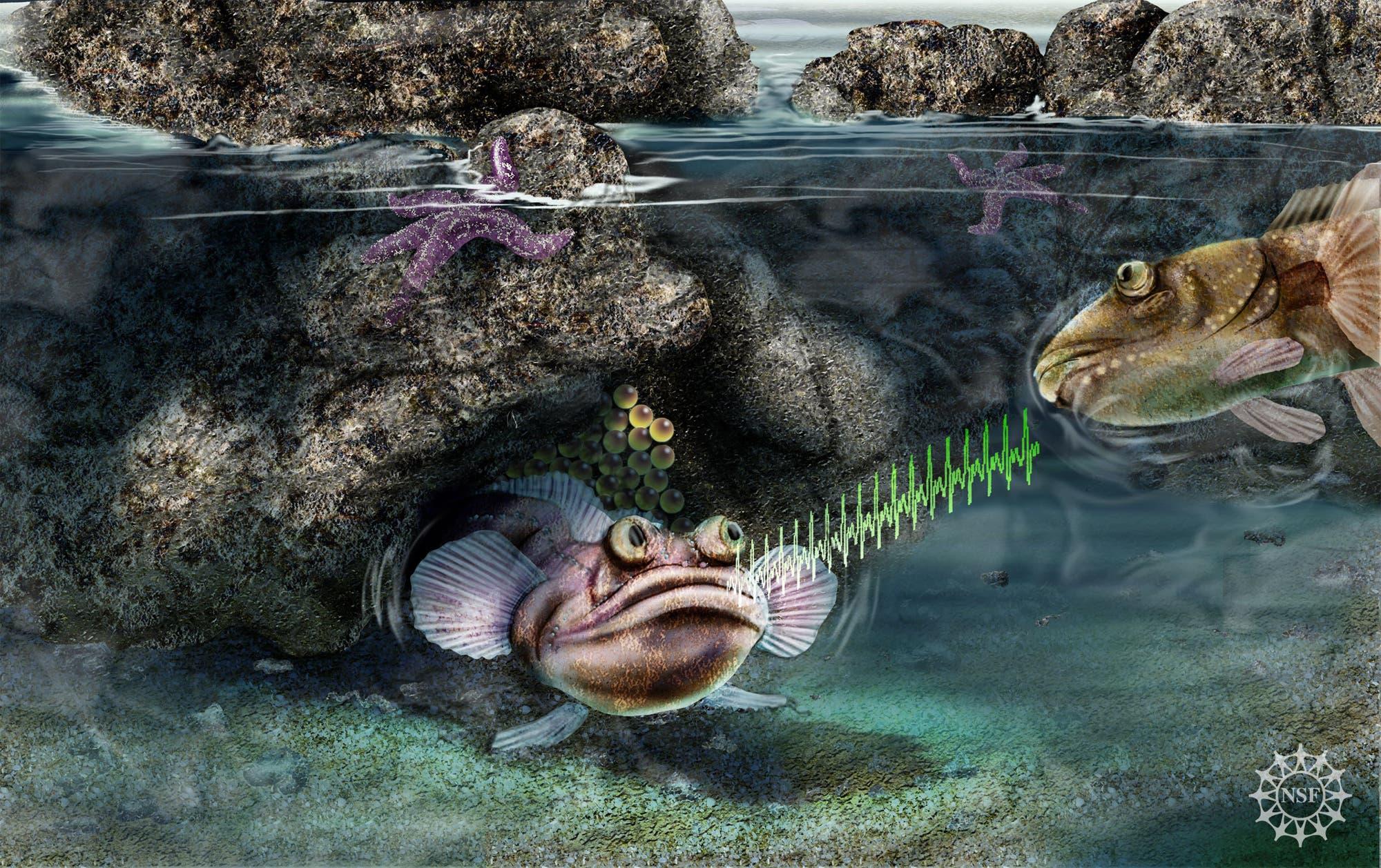Balz des Bootsmannfisches