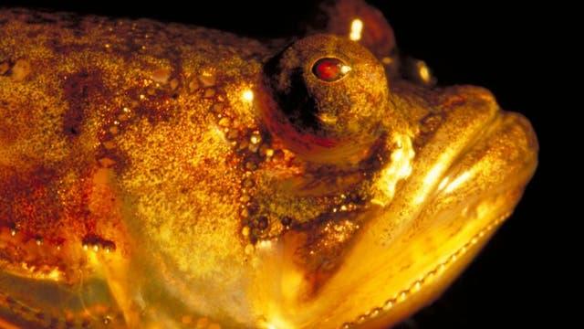 <i>Porichthys notatus</i>