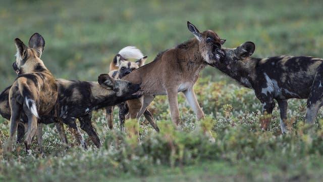 Wildhunde beim Beutemachen