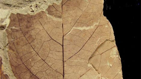 Fossiles Blatt mit Fraßspuren