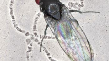 <i>Drosophila subobscura</i>