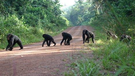 Schimpansen bei der Straßenüberquerung
