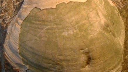 Muschelfossil