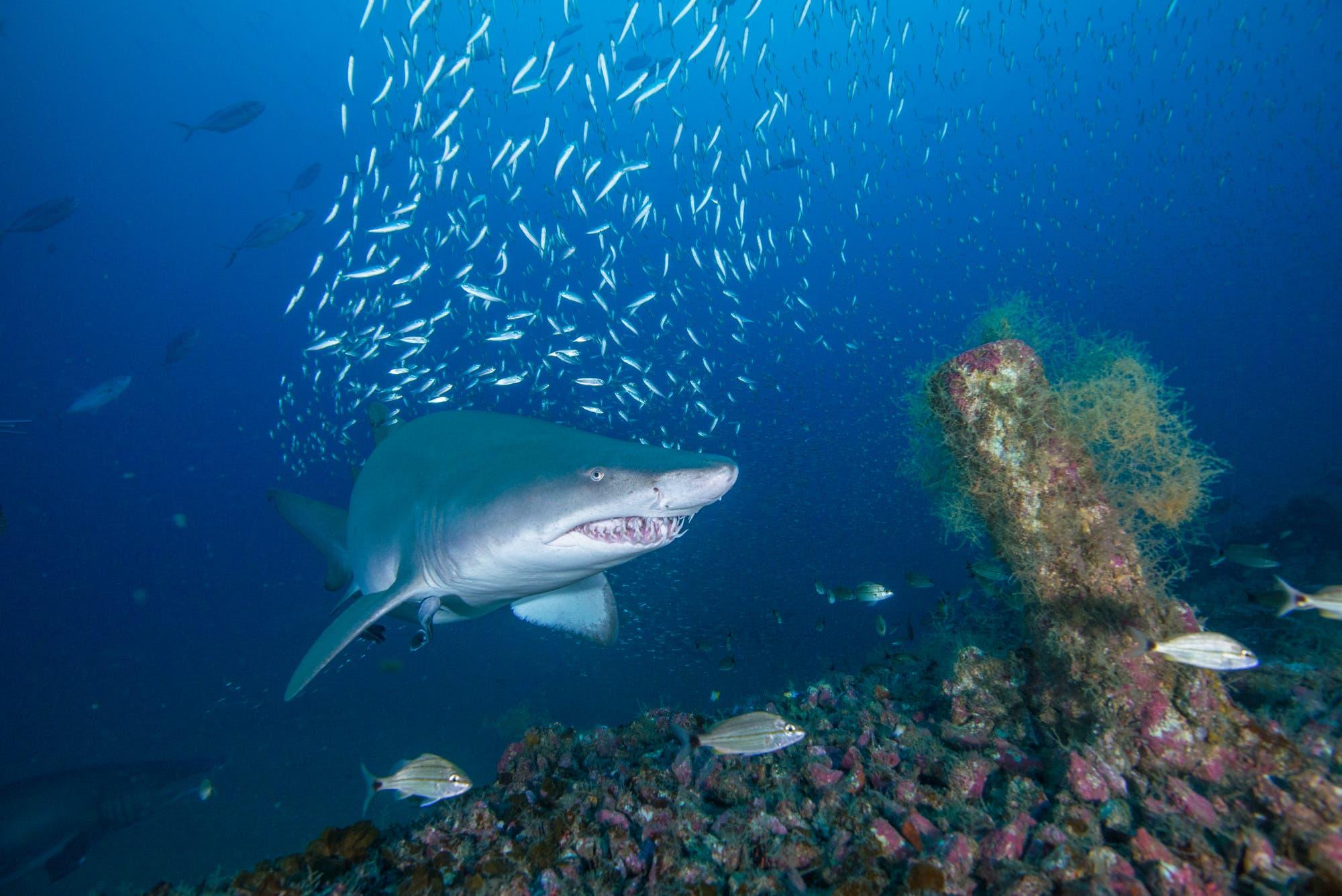 Sandtigerhai
