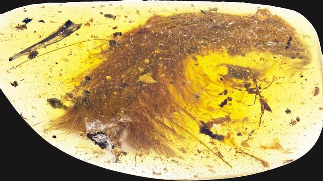 Bernstein bewahrte einen gefiederten Dinosaurierschwanz 99 Millionen Jahre auf