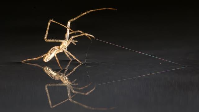 Segelnde Spinne