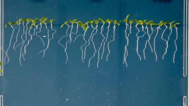 Arabidopsis thaliana Pflänzchen mit Wurzeln in durchsichtiger Nährlösung
