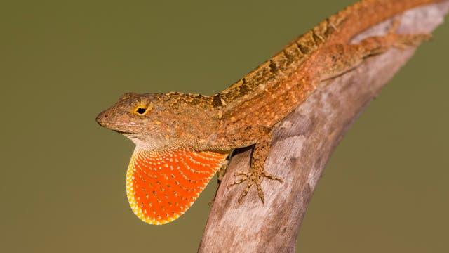 Bahamaanolis