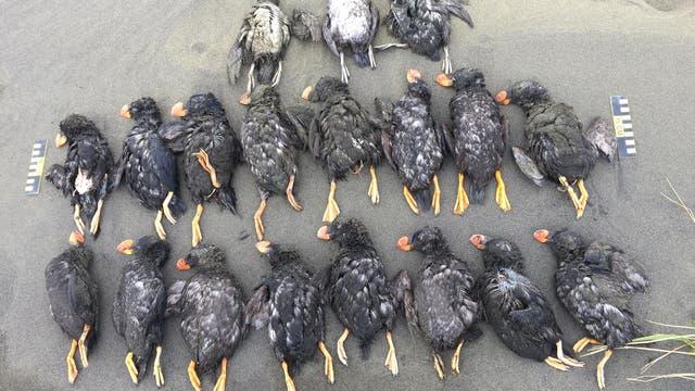 19 tote Gelbschopflunde, die am Nordstrand von St. Paul geborgen wurden