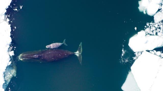 Grönlandwale im Packeis