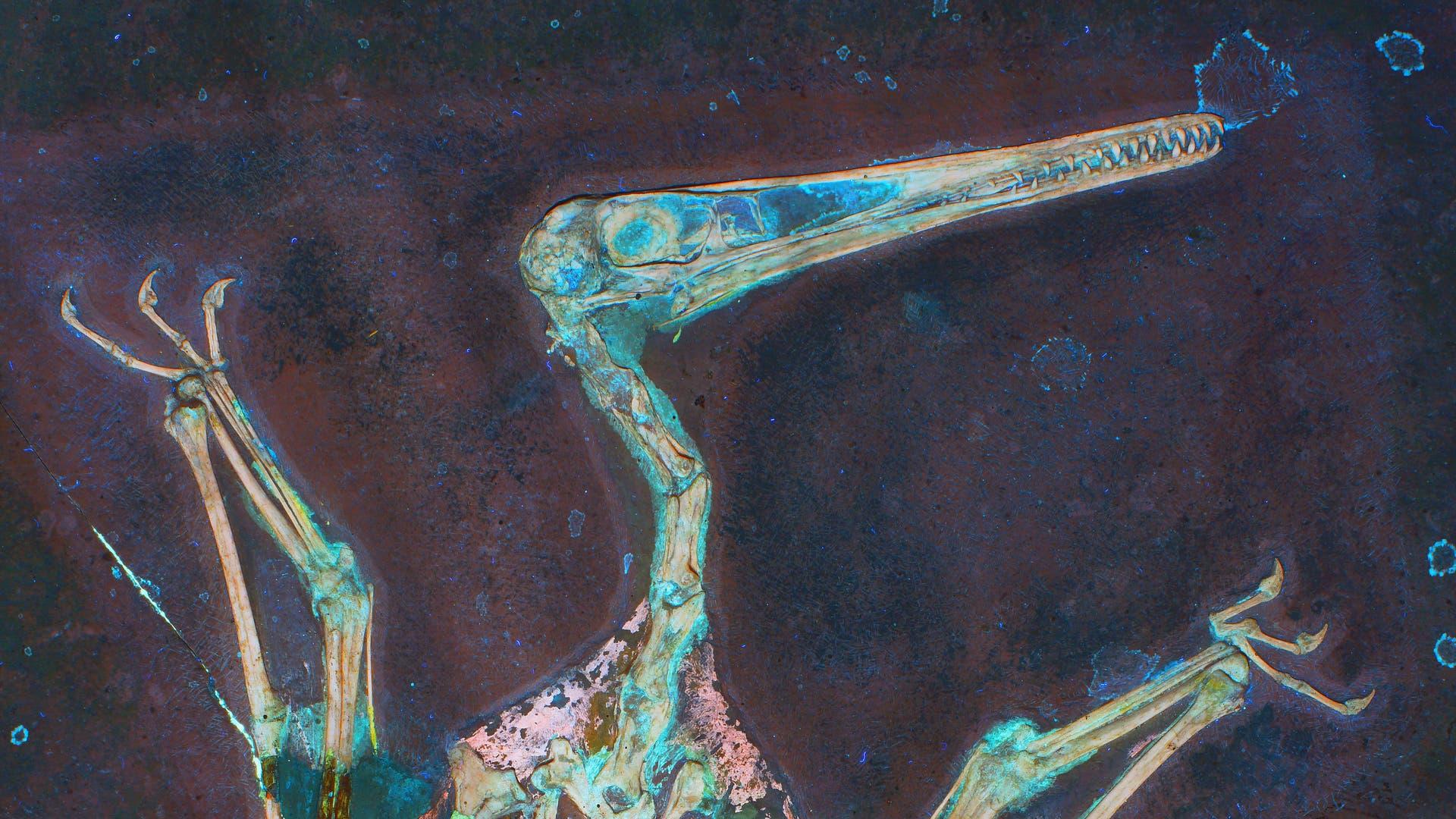 Pterodactylus aus dem Solnhofer Plattenkalk