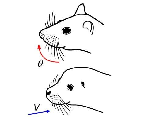 Säugetiere setzen ihre Schnurrhaare unterschiedlich ein