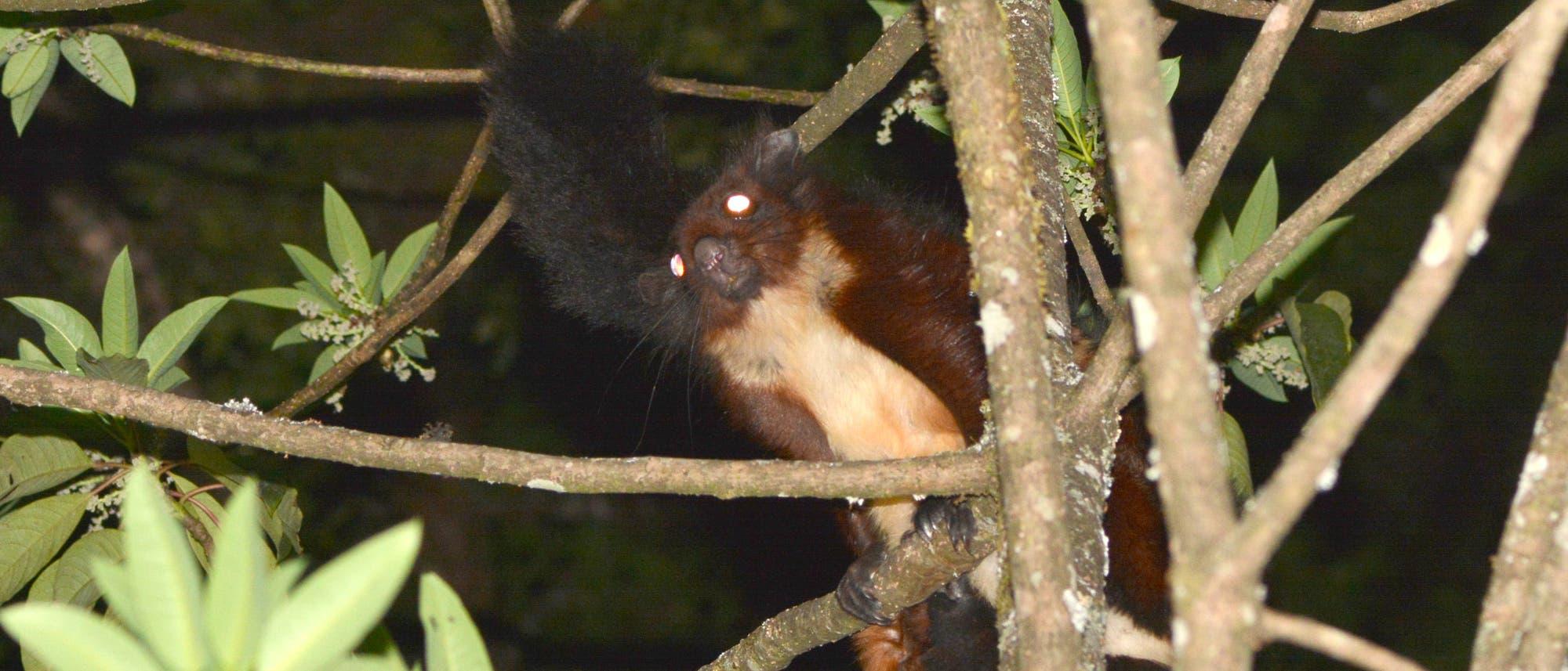 Biswamoyopterus gaoligongensis