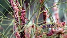 Wüstenheuschrecken