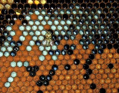 Biene mit Larven