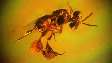 Eine Biene aus der Karibik im Bernstein