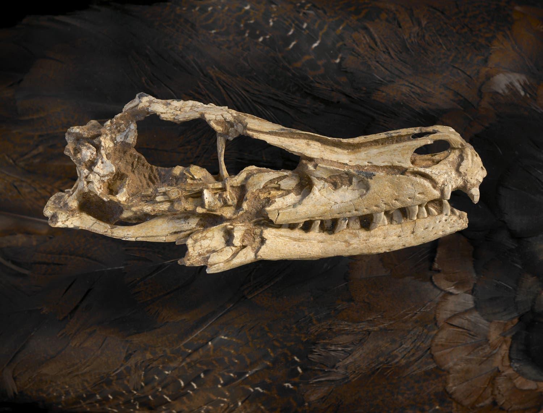<i>Velociraptor mongoliensis</i>