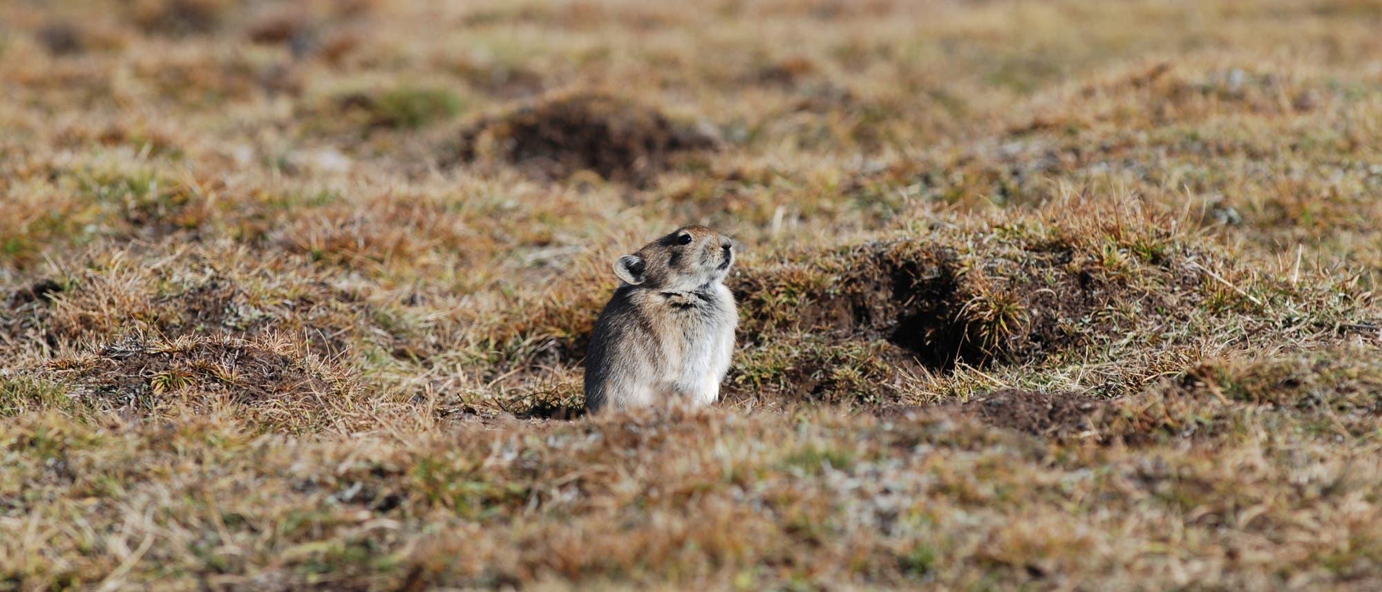 Ein kleines Tier sitzt auf niedrigem braunem Gras und guckt wachsam.