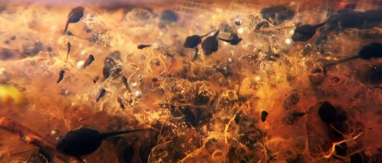 Kaulquappen der Aga-Kröten attackieren sich gegenseitig