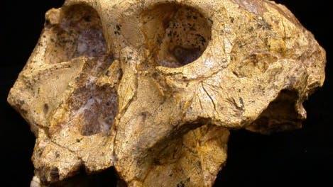 Fossiler Schädel eines Paranthropus