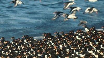 Austernfischer an der Nordsee