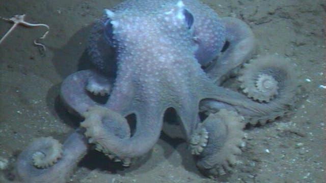 Ein sehr verwarzter Tiefsee-Oktopus.
