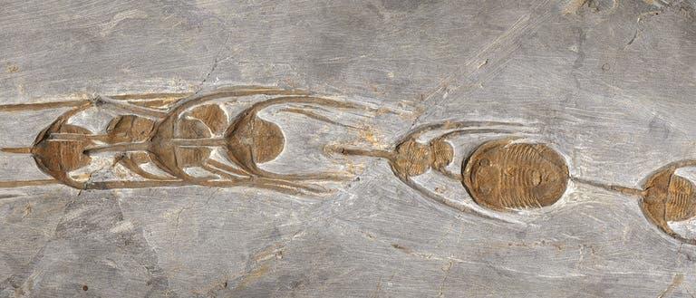 Trilobiten in Reih und Glied, als sie vor 480 Millionen Jahren von Meeressedimenten überdeckt wurden.
