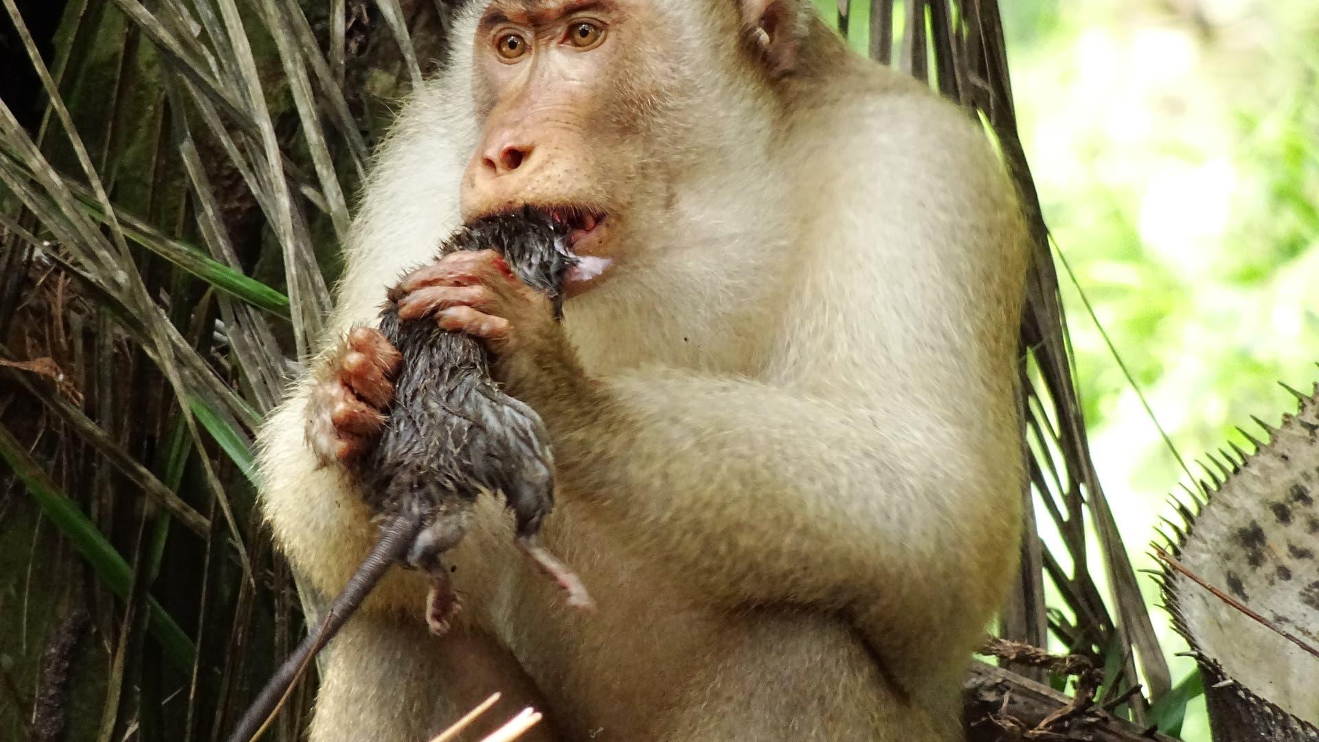 Makake frisst Ratte.