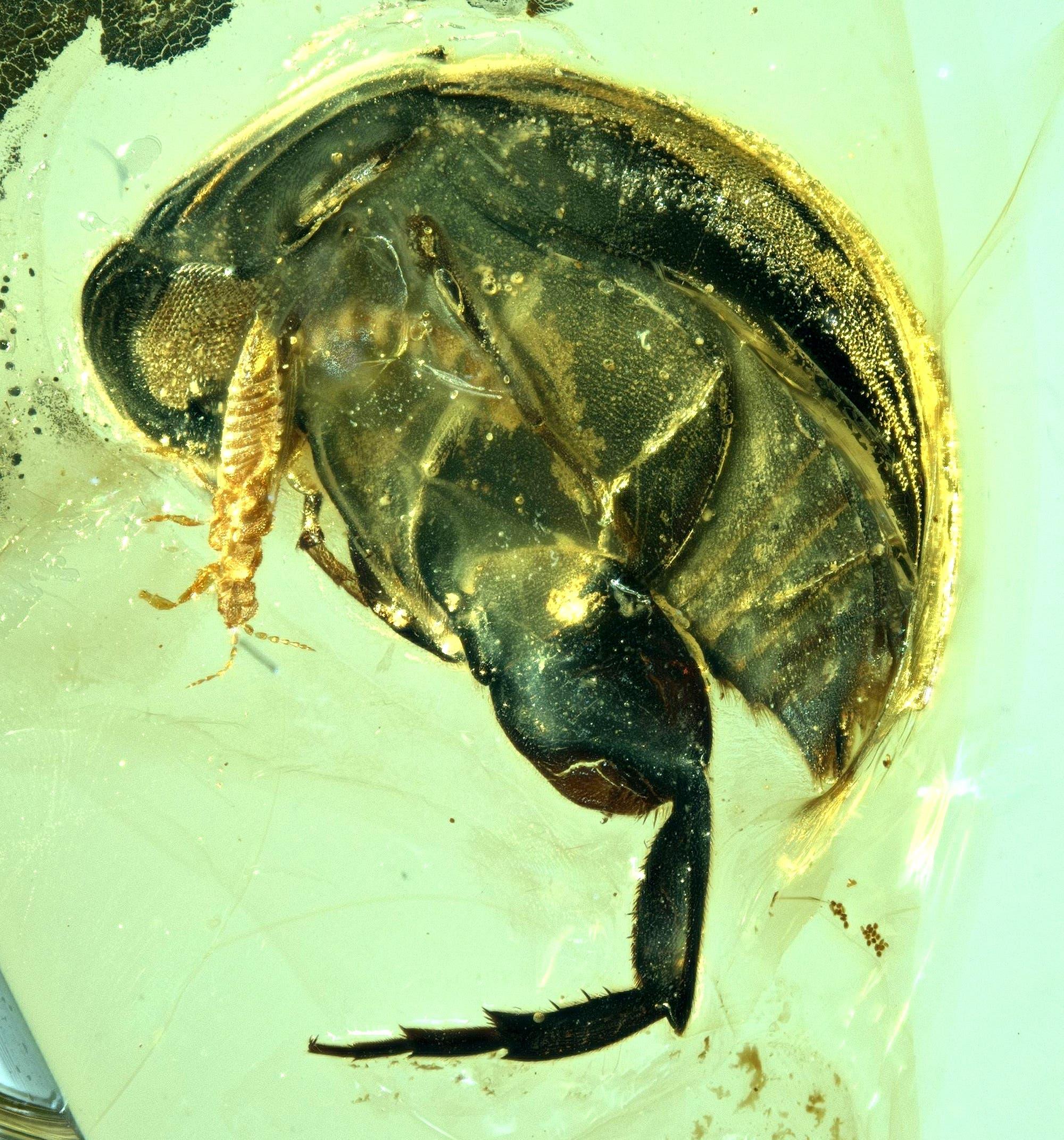 In Bernstein eingeschlossener Kreidezeit-Käfer