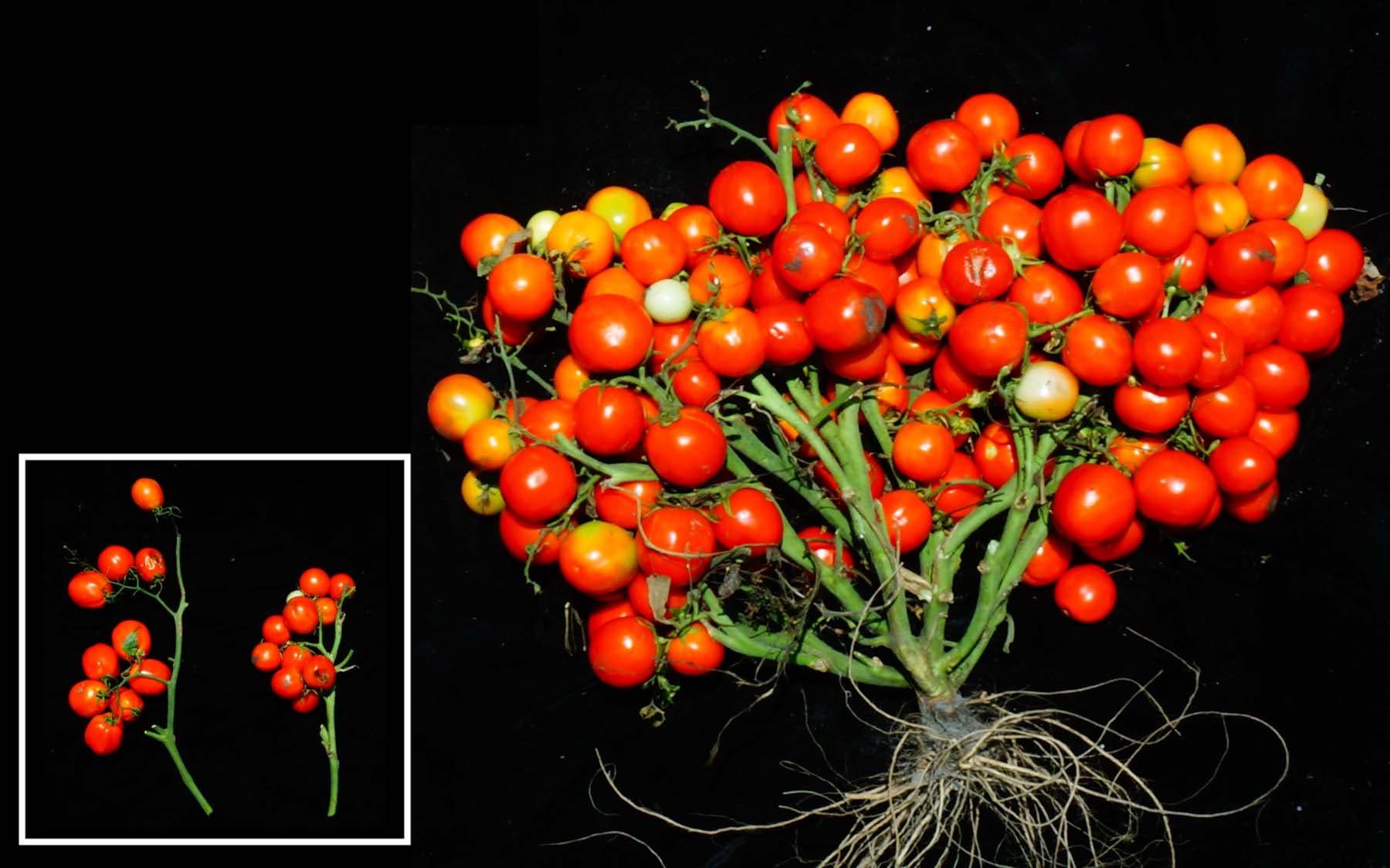 Neue Tomatensorte, die kompakte kleine Sträuße bildet