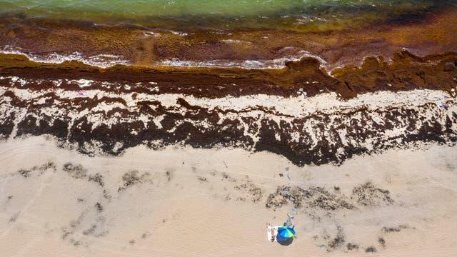 Braunalgen (»Sargassum«) am Boynton Beach, Florida, USA, im Jahr 2020.