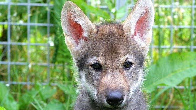 Das Wolfsjunge Flea