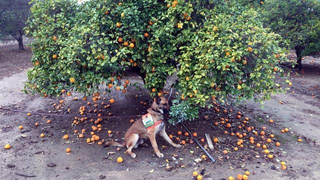 Hund neben krankem Zitrusbaum