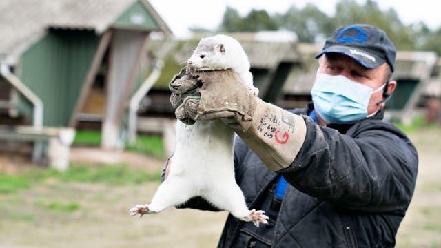 Der Nerzfarmer Thorbjoern Jepsen hält eines seiner Tiere, kurz bevor die Polizei im Oktober den Zugang zu seiner Farm auf Droevten in Gjoel erzwang.