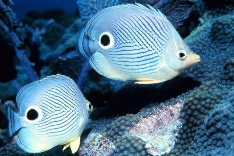 Vieraugen-Falterfisch